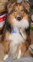 animal communication with Sheltie rescue Tyler