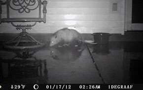 First the opossum was caught on camera